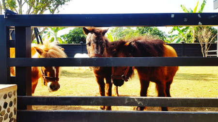 Many pony or small horse in stable or stall. Wildlife of animal or pet.