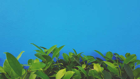 Green leaves plant with on blue painted wall background with copy space on top or above in vintage tone filter. Brush on concrete wallpaper 版權商用圖片