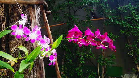 Pink, white and purple or violet orchid blooming and growth up on tree with green leaves and wall background and copy space in garden park. Beautiful flower, Beauty in nature and Floral or flora. 版權商用圖片