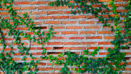 Green Vine, ivy, liana, climber or creeper plant growth on brick wall with copy space on center or middle. Beauty in nature and natural design. Leaves on wallpaper and Structure of building.