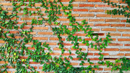 Green Vine, ivy, liana, climber or creeper plant growth on brick wall with copy space. Beauty in nature and natural design. Leaves on wallpaper and Structure of building.