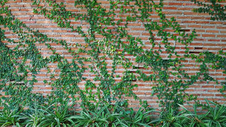 Green Vine, ivy, liana, climber or creeper plant growth on brick wall with tree. Beauty in nature and natural design. Leaves on wallpaper and Structure of building. 版權商用圖片