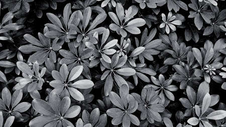 Beautiful leaves pattern for background at garden park in black and white or monochrome tone. Beauty of Nature, Growth, Plant and Natural wallpaper concept