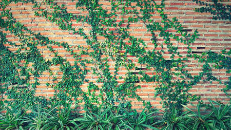 Green Vine, ivy, liana, climber or creeper plant growth on brick wall with tree in vintage tone. Beauty in nature and natural design. Leaves on wallpaper and Structure of building. 版權商用圖片