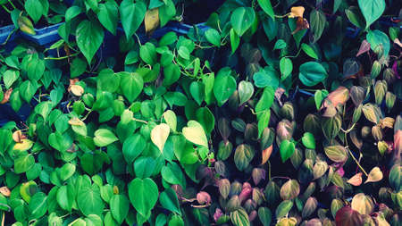 Beautiful green, yellow and red leaves growth on flowerpot for background in blue filter tone. Beauty in nature and leaf wall or wallpaper concept