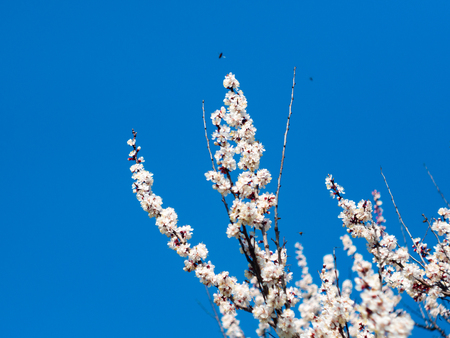 Beautiful white branches of a blooming apricots in the spring in the background blue sky. The bee collects the nectar from the flowers.