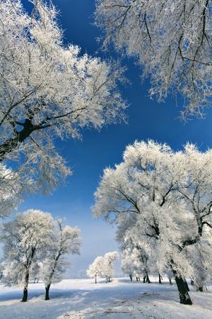 Winter tree photo