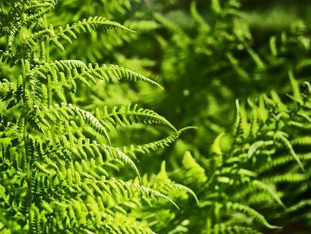 Light green fern leaves in spring sun