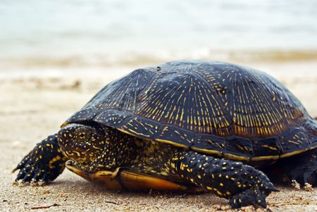 Yellow spotted turtle walking along the beach