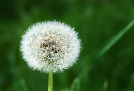 White dandelion on grassy glade background Stock Photo