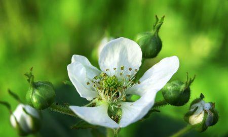 White blackberry flower cluster on green
