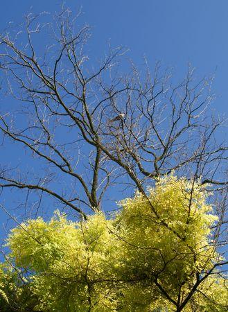 Turtle dove in half dried acacia tree