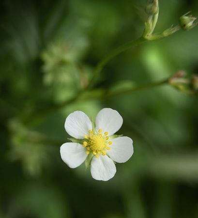 white strawberry flower on the green