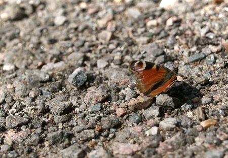 Butterfly Saturnia on the gravel Stock Photo - 7404119