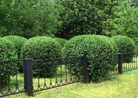 Pruned bush ingrown in metal fence