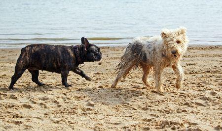 French bulldog following shaggy terrier on sandy beach Stock Photo