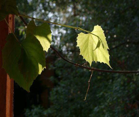 Green vitis foliage lit with sun beam