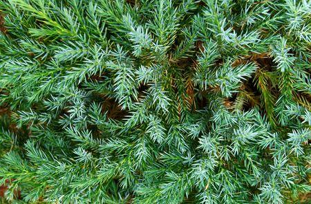 Blue creeping firtree, closeup Stock Photo