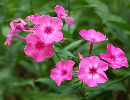 Blossoming pink phlox flowers, closeup