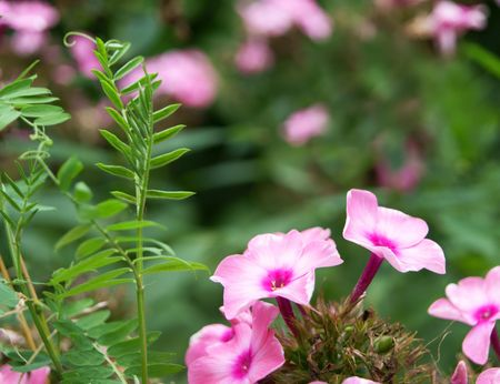 Blossoming pink phlox with leafy bindweed, closeup