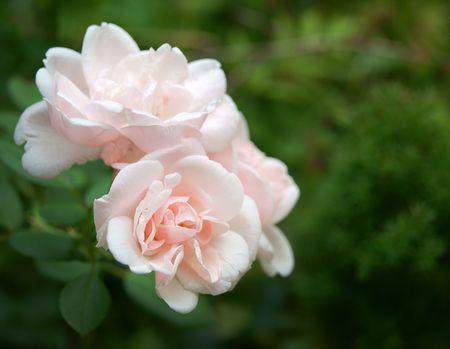Pink rose flowers closeup, green garden background