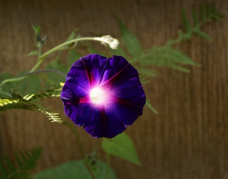 Cultivated bindweed Ipomoea Stock Photo - 8979504