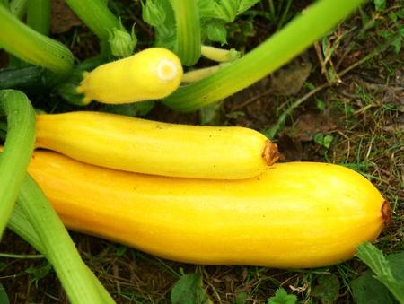 Courgettes jaunes en gros plan jardin, légumes