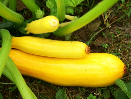 Yellow marrows in vegetable garden, close-up