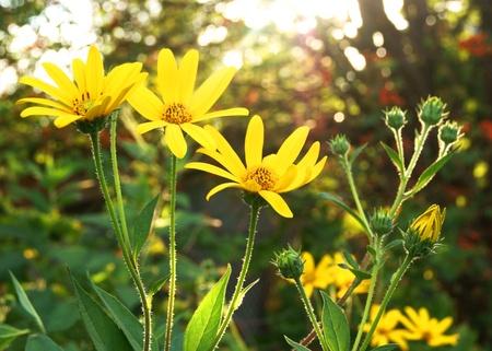 Yellow coneflowers in sun rays