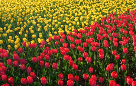 A field of yellow and red tulips in big city