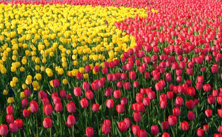 Field of yellow and red tulips in spring