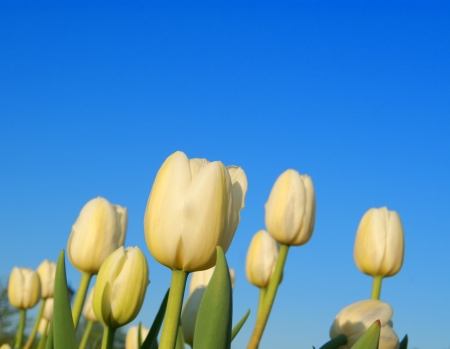 White tulips on clear sky background photo