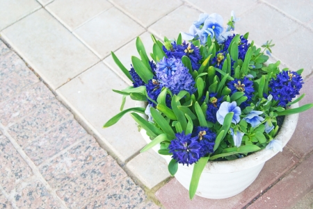Hyacinths and blue viola flowers in white ceramic pot