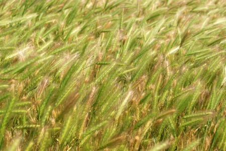 Close-up of green rye ears Stock Photo