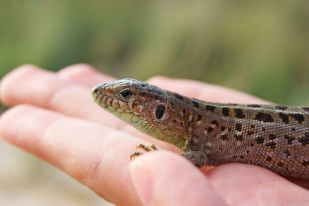 Spotted Lizard Close-up sitting on a man Stock Photo
