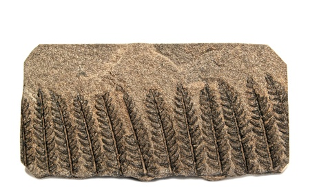 carboniferous: Well preserved specimen of fern Polymorphopteris with well visible details - 320 milions years old, age carboniferous, from Herault, Graissessac Coal Basin, France