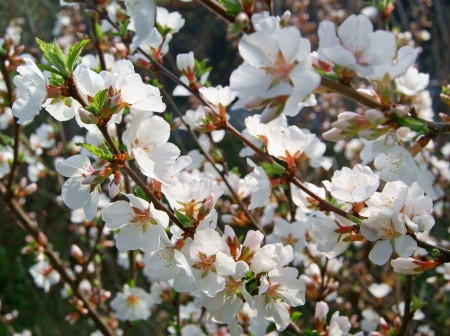 Close up of cherry blossom flowers in spring