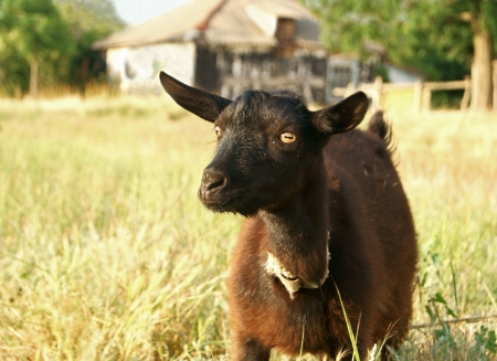 A portrait of black goat in the meadow