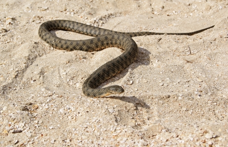 slithering: A snake is slithering on shelly sand on the beach Stock Photo