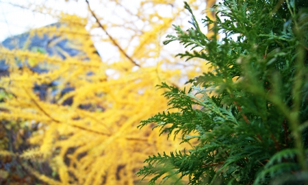 Closeup of green and yellow colorful fir trees Stock Photo