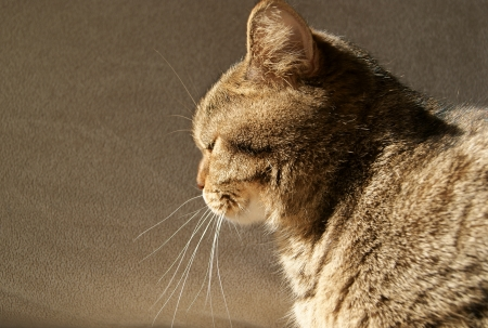 Female of the British Shorthair Black Golden Spotted cat