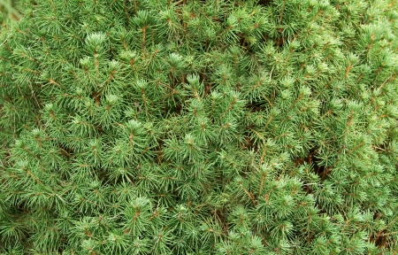 Close-up of green canadian fir tree branches