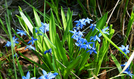 Blue Scilla  Squill  blossom background in early spring