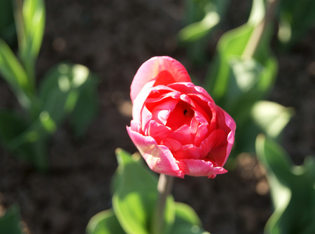 Top view of double-flowering pink tulip
