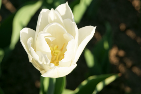 Top view of double-flowering white tulip