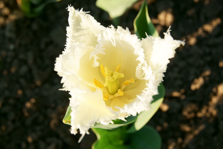 Top view of fringe-petaled white tulip