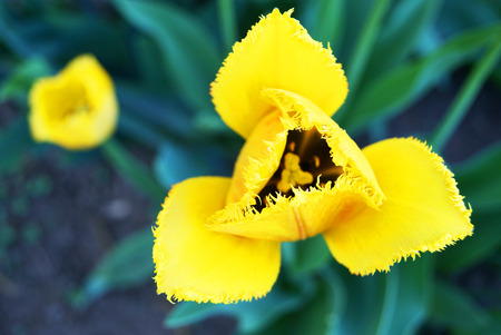 Top view of fringe-petaled triangular shape yellow tulip