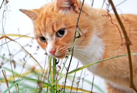 Sad wild red cat hiding in dry autumn grass outdoors Stock Photo