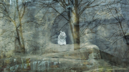 White Tiger in the cave behind the glass with reflection of trees