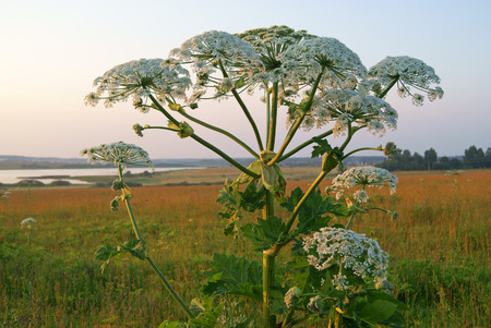 Heracleum plant also called cow parsnip in riverside meadow at sunset